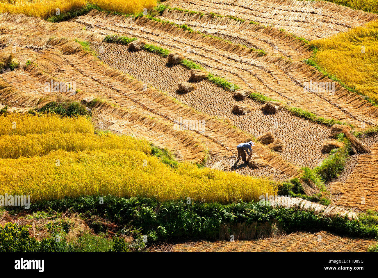 A farmer works the rice fields in the upper Punakha Valley.  Bhutan. - Stock Image