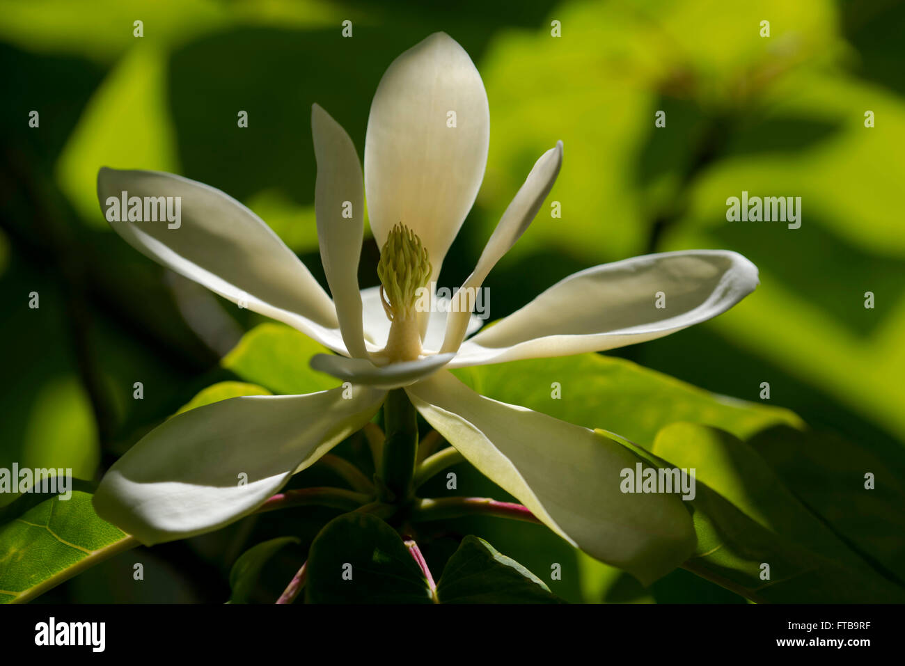 Magnolia Fraseri A Close Up Of A Summer Flowering Magnolia At The