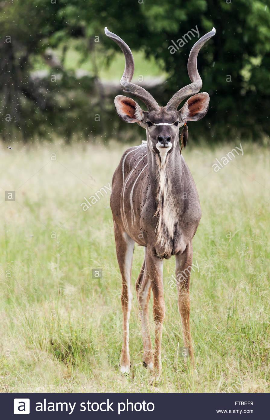 Greater Kudu, Tragelaphus strepsiceros, Mahango Game Reserve, Bwabwata National Park, Zambezi Region, Namibia, Africa - Stock Image