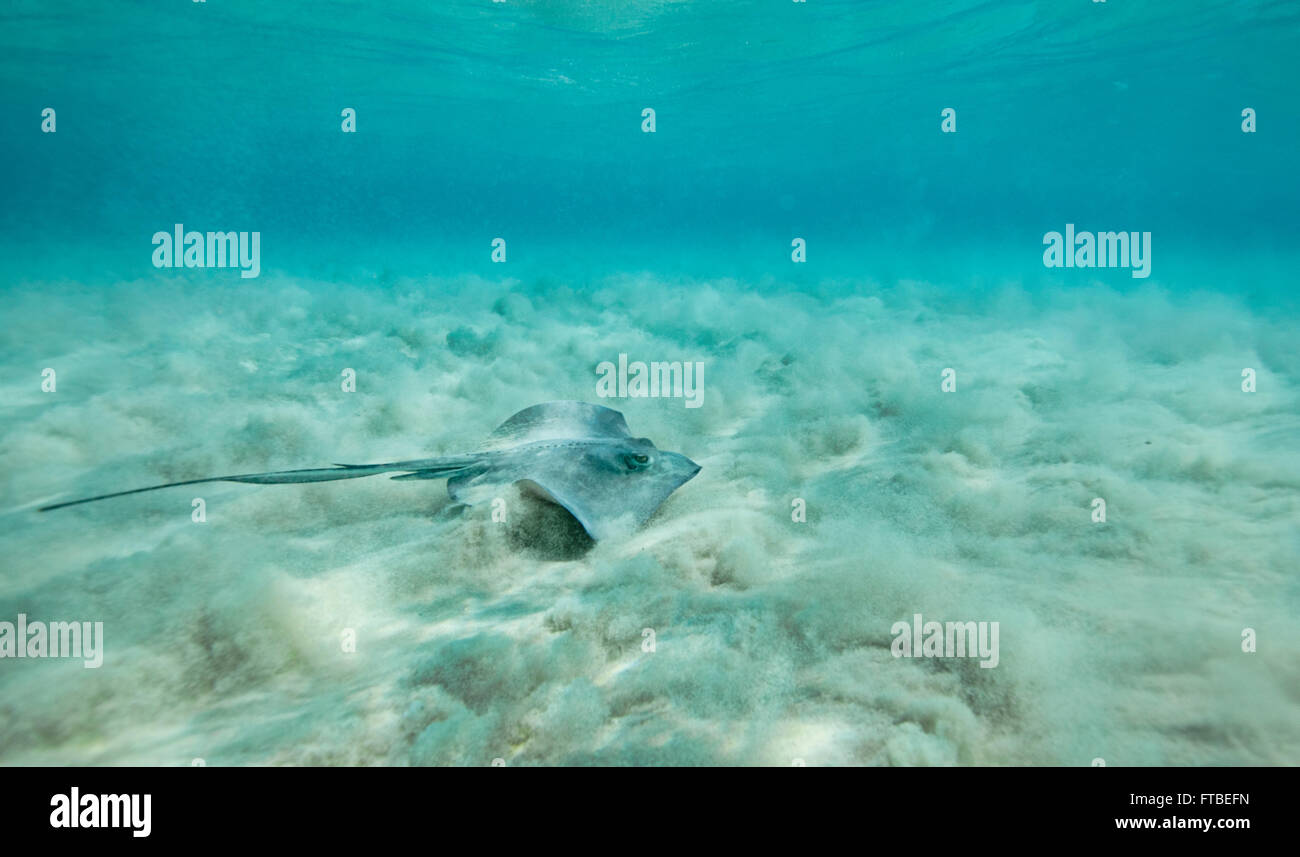 Giant Southern Stingray swimming along the sandy bottom with the waves kicking up the sand - Stock Image
