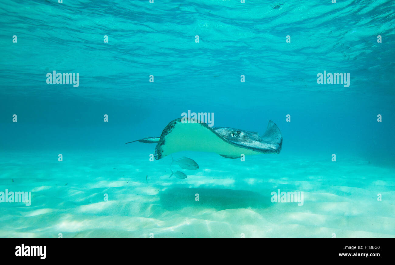 Giant Southern Stingray swimming with two fish swimming below the stingray in its shadow - Stock Image
