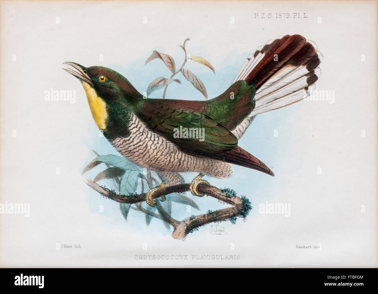 yellow-throated cuckoo (Chrysococcyx flavigularis). A species of cuckoo in the Cuculidae family. It is found in - Stock Image