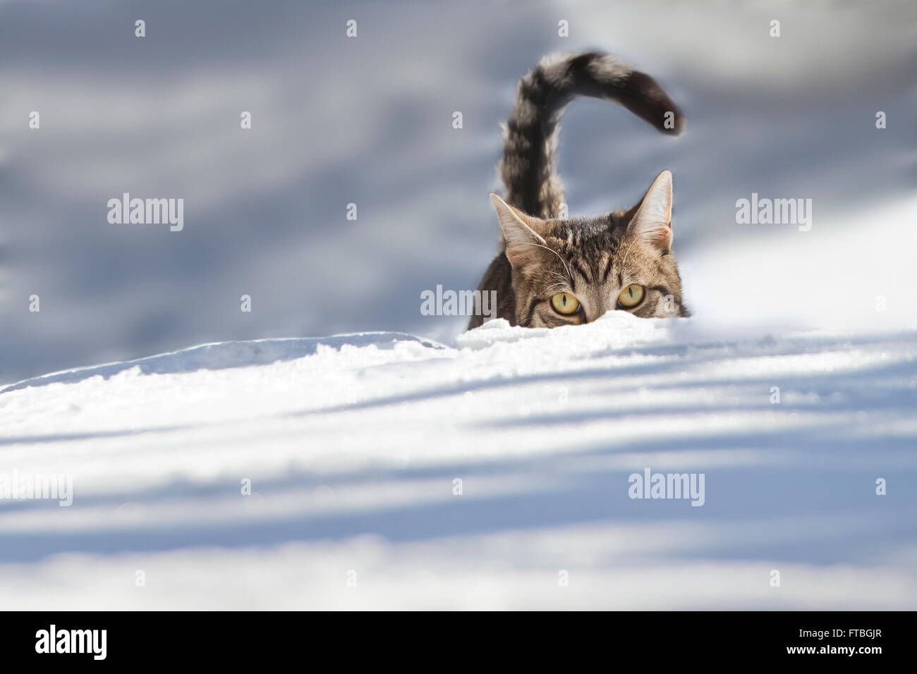 Cat walking through fresh snow, Bavaria, Germany Stock Photo
