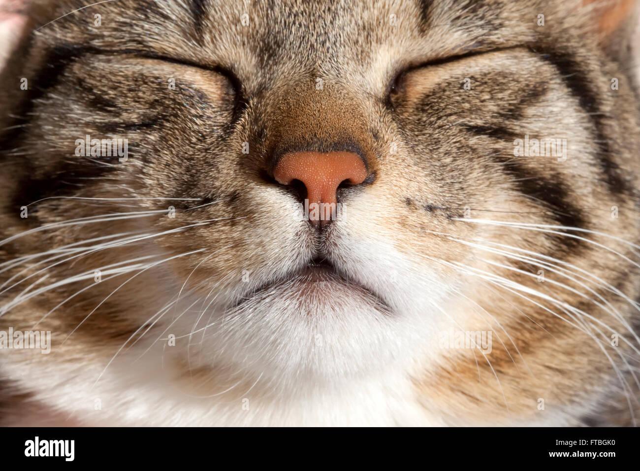 Domestic Cat, sleeping, portrait - Stock Image