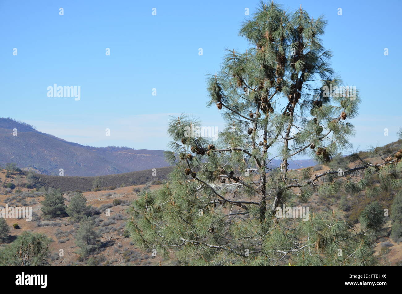 Coulter Pine Tree in California - Stock Image