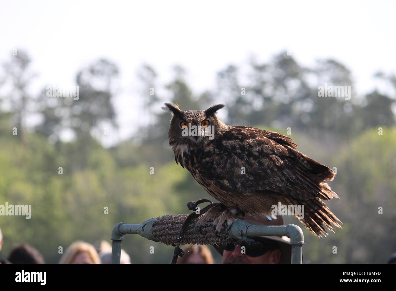 Eurasian eagle owl at Lake Livingston State Park - Stock Image