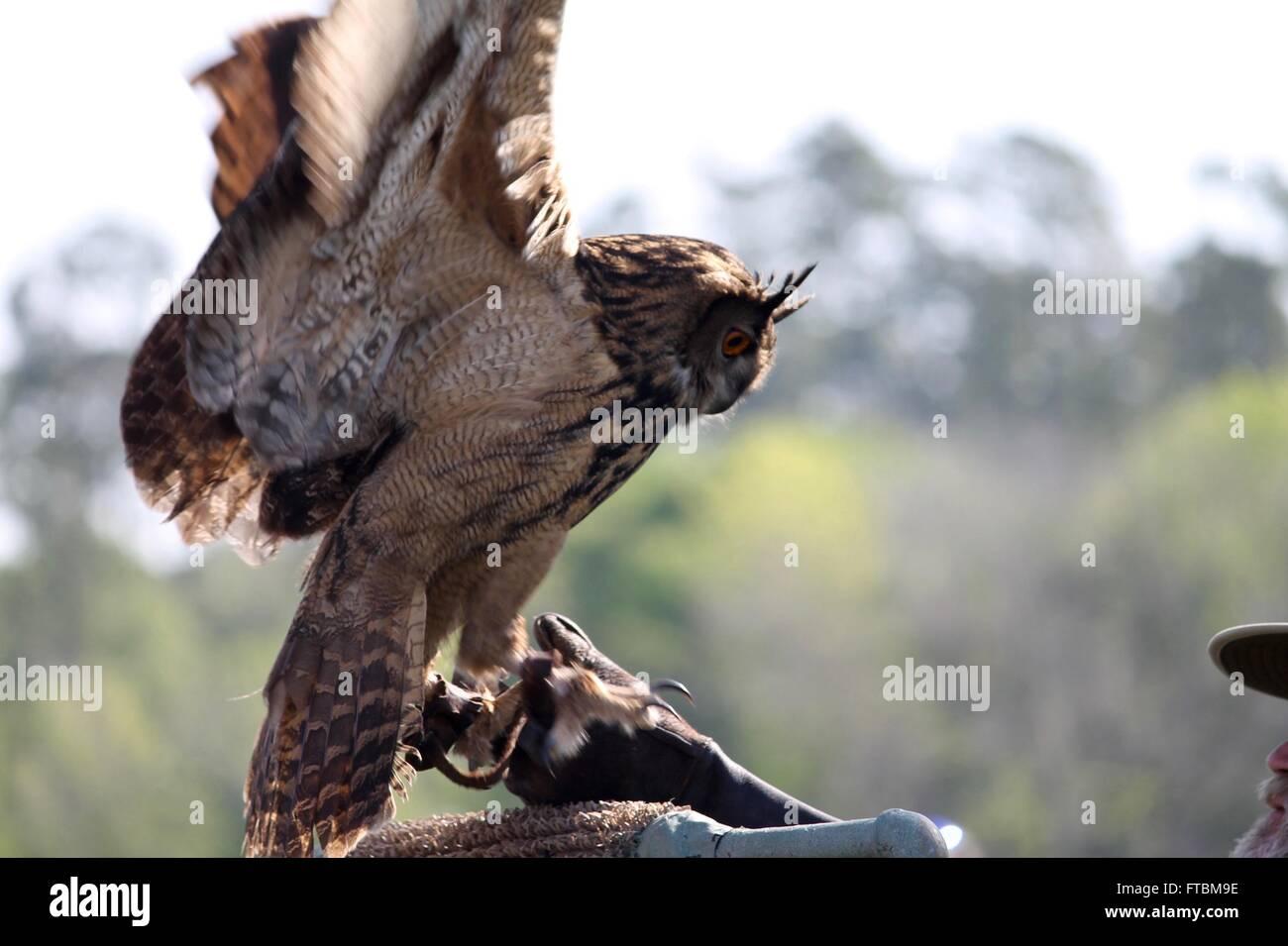 Eurasian eagle owl at Lake Livingston Stae Park - Stock Image
