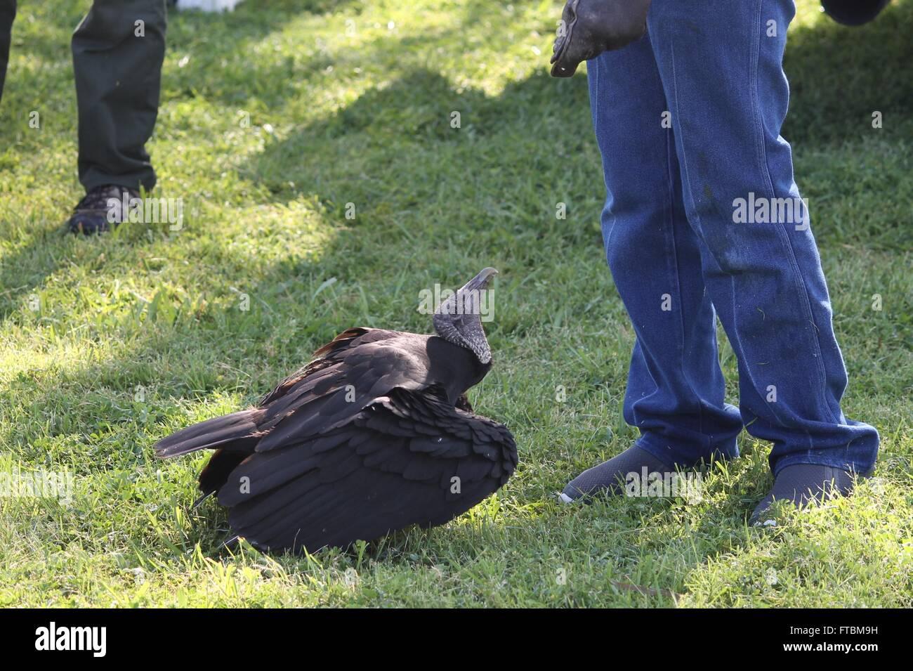 Black Vulture at Lake Livingston State Park - Stock Image