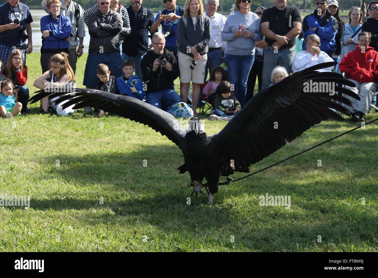 Andes Condor at Lake Livingston State Park - Stock Image