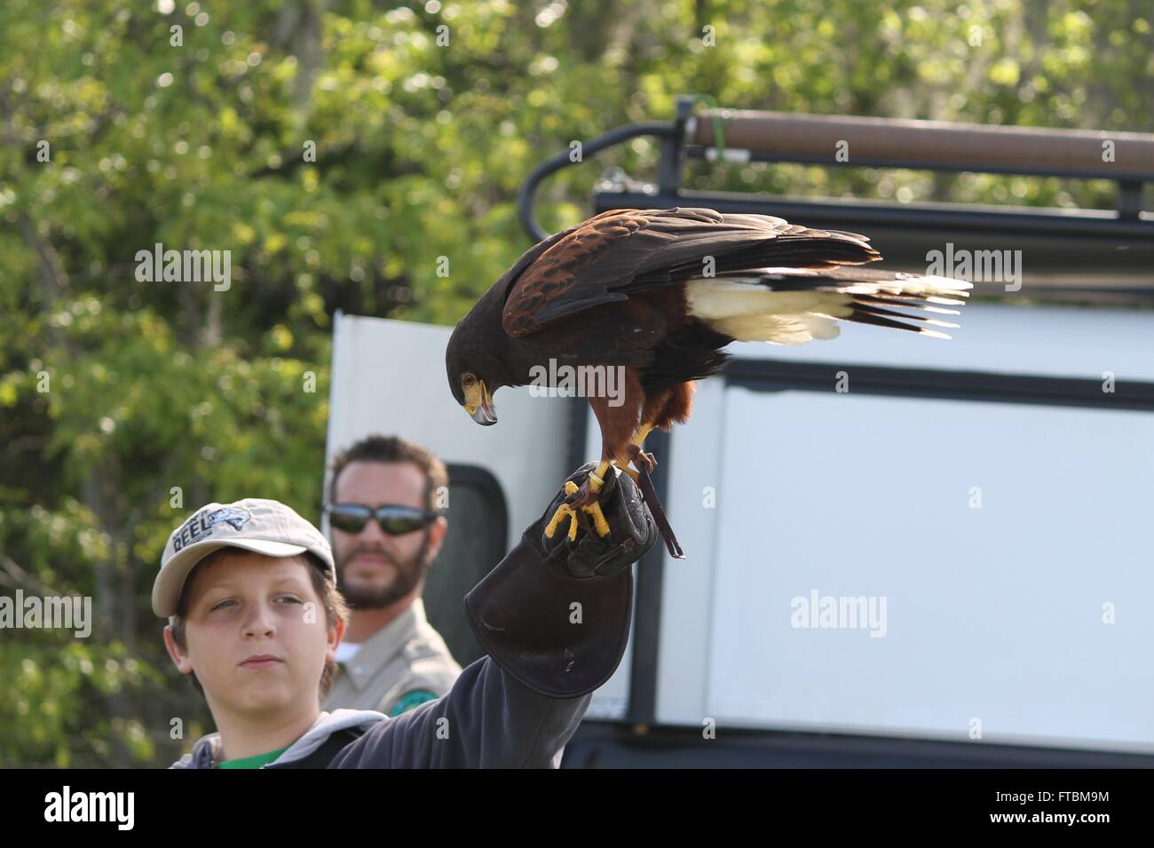 Harris' Hawk at Lake Livingston State Park - Stock Image