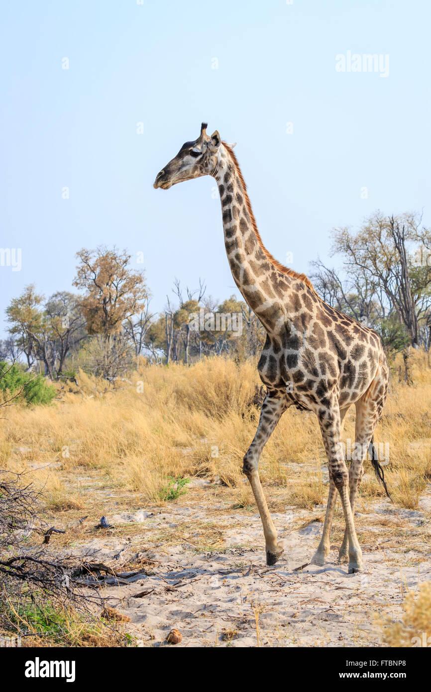 Southern giraffe (Giraffa camelopardalis) walking in savannah woodland under a blue sky, Sandibe Camp, Okavango - Stock Image
