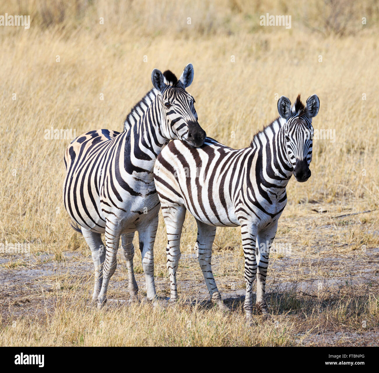 Two plains or Burchell's zebra (Equus quagga), Sandibe Camp, by the Moremi Game Reserve, Okavango Delta, Botswana, - Stock Image