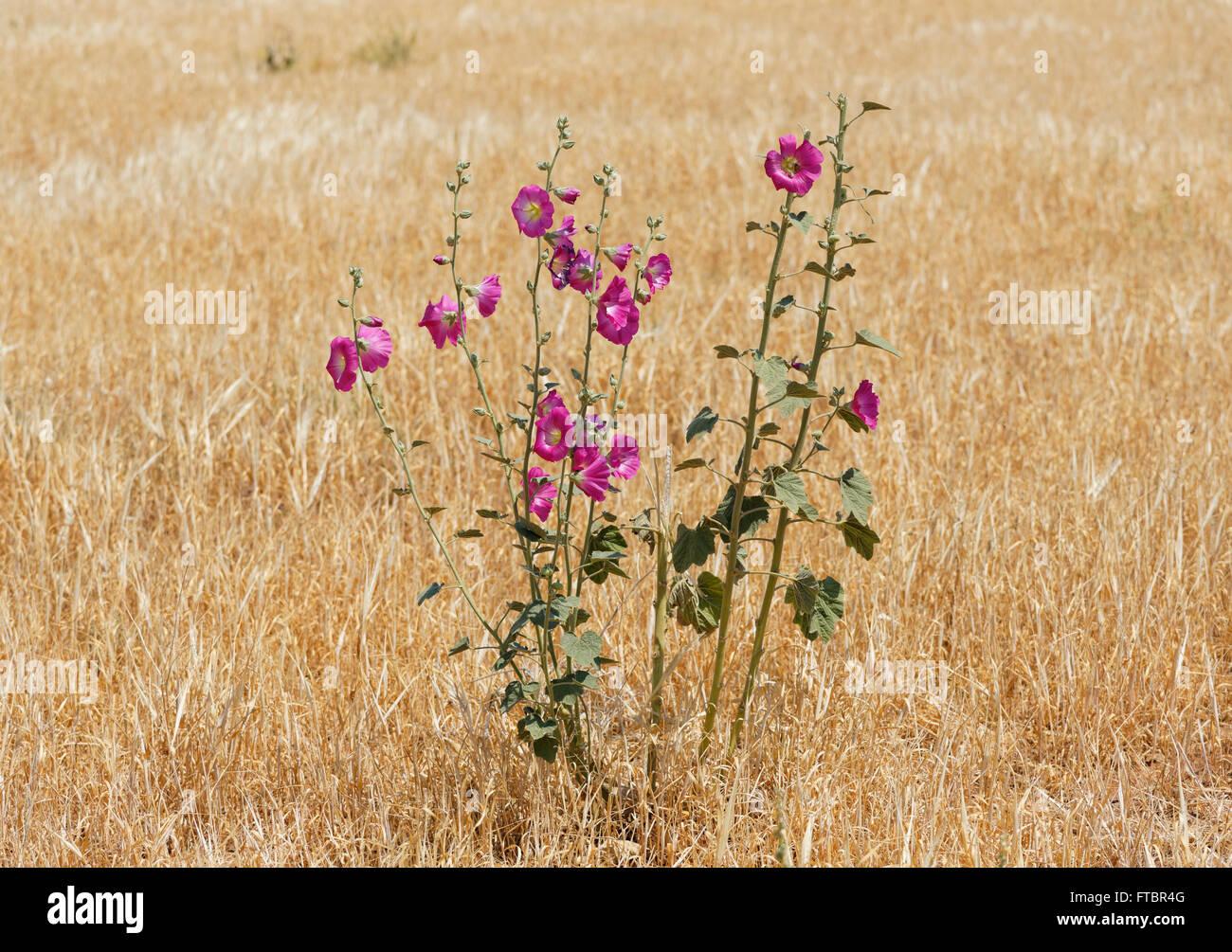 Biennial hollyhock (Alcea biennis), Anatolia, Turkey - Stock Image
