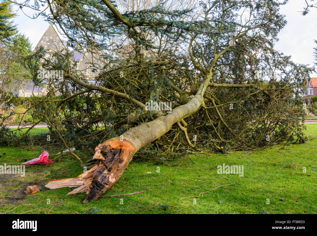 Damaged tree. Branch of a tree broken off from the main trunk during gales in Southern England, UK. - Stock Image
