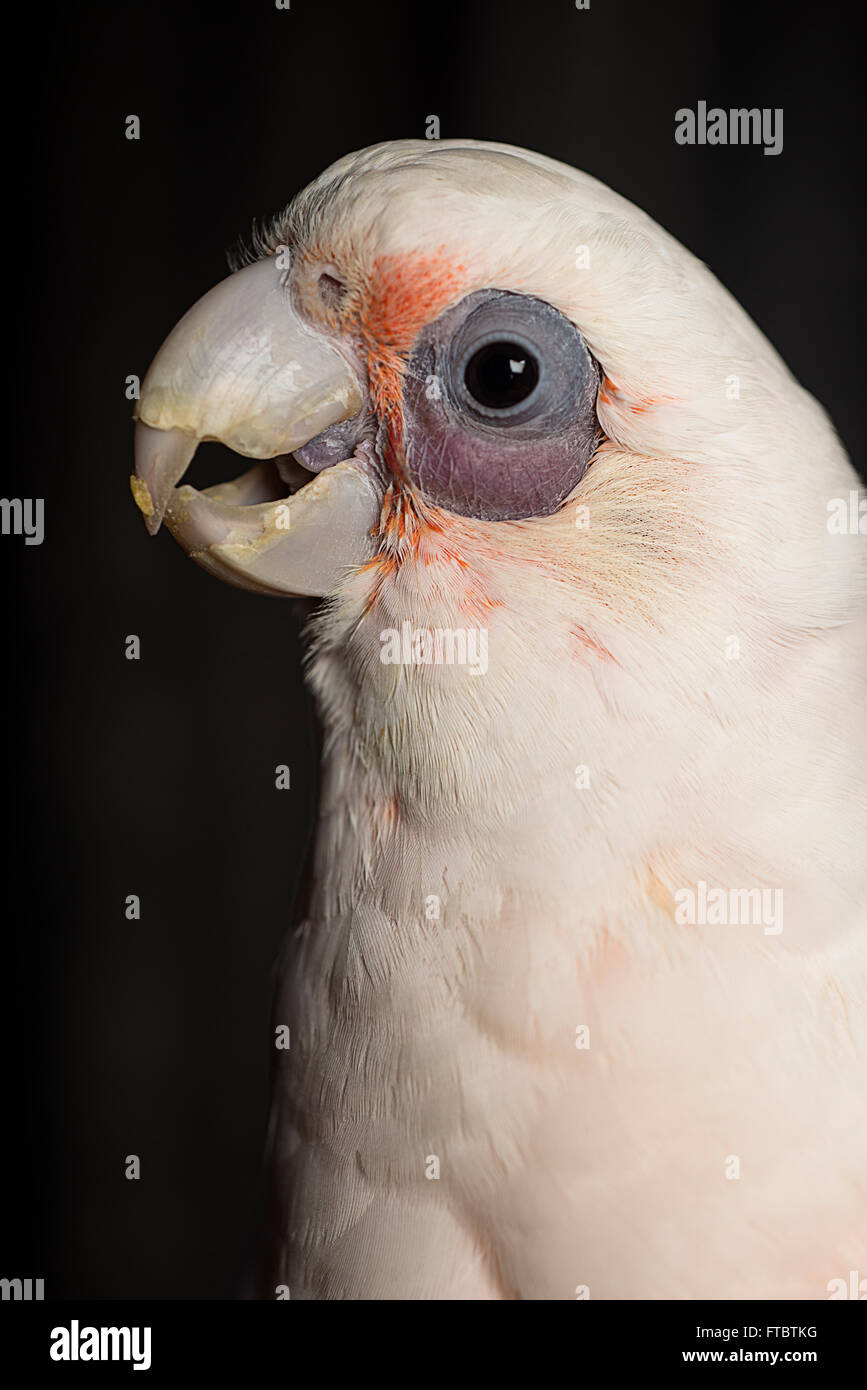 A close up portrait of a young bare-eyed cockatoo. - Stock Image
