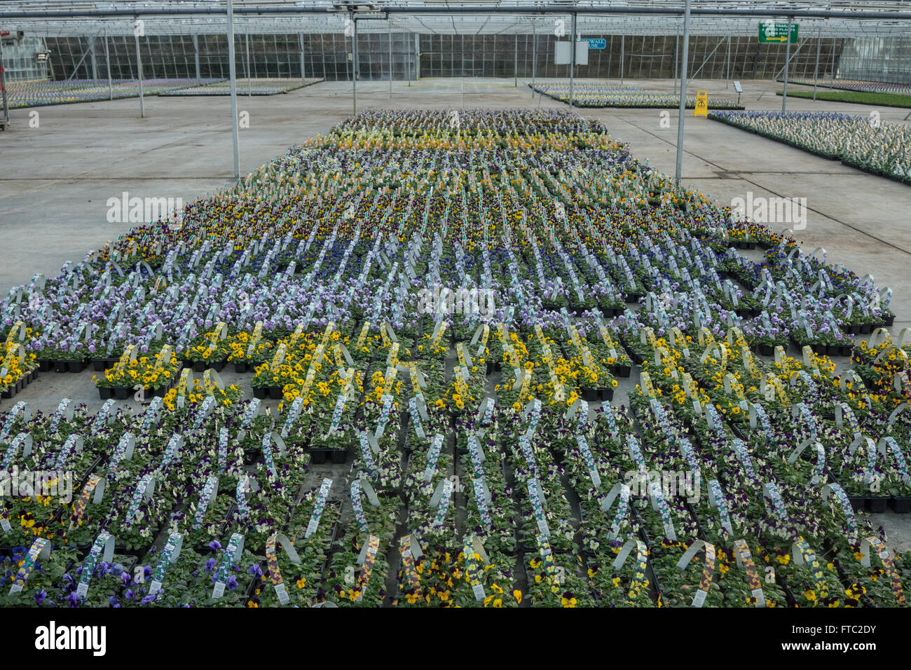 flower nursery, commercial greenhouse, - Stock Image