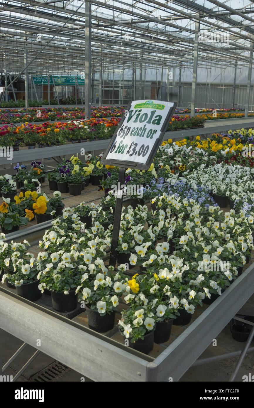 viola flowers for sale flower nursery,  garden centre - Stock Image