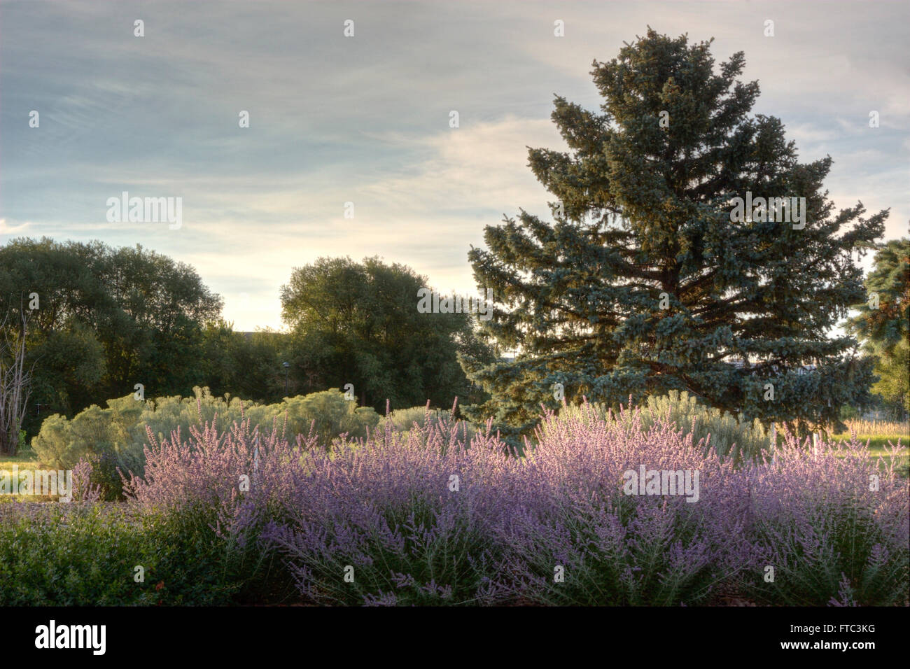Early morning light on Russian Sage - Stock Image