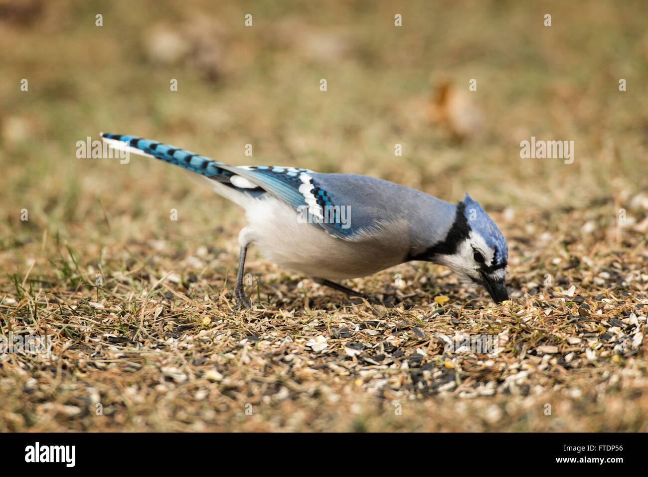 Blue Jay foraging in spilled seeds on ground. Stock Photo