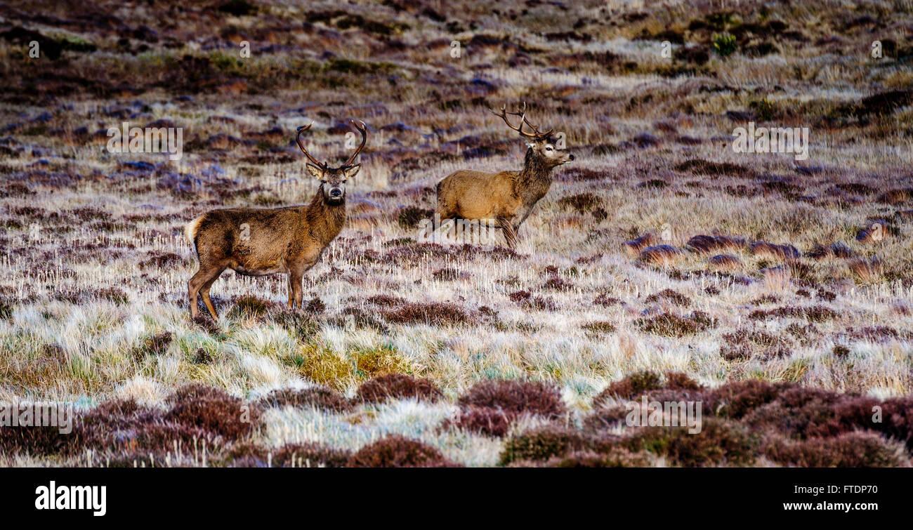 Stags on the hillside near Garrynahine, Isle of Lewis, Outer Hebrides, Scotland - Stock Image
