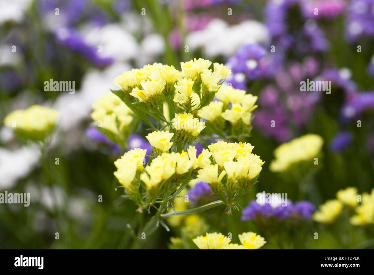 Limonium sinuatum 'Forever' flowers. Statice growing in a summer border. Stock Photo