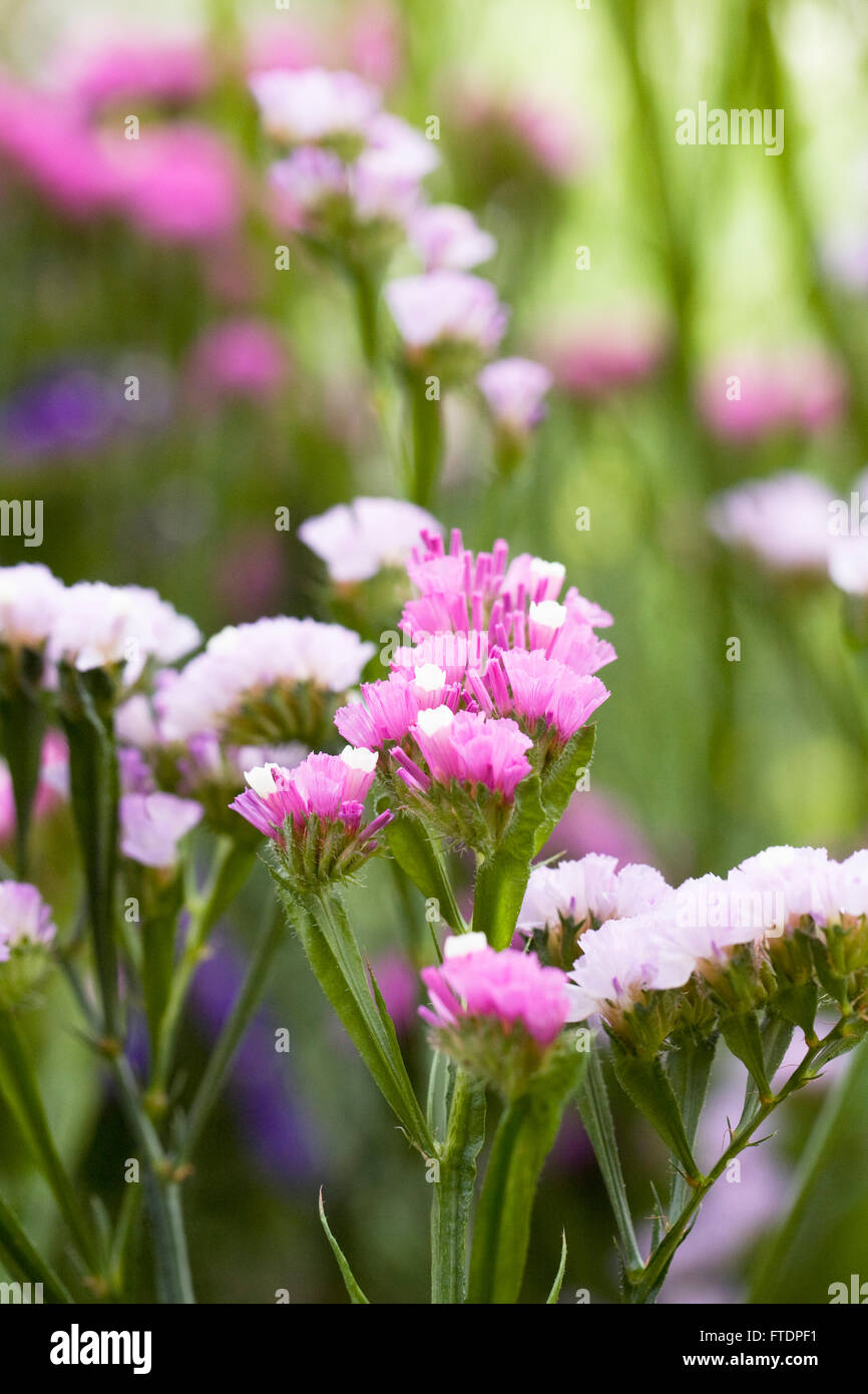 Statice Flower Stock Photos Statice Flower Stock Images Alamy