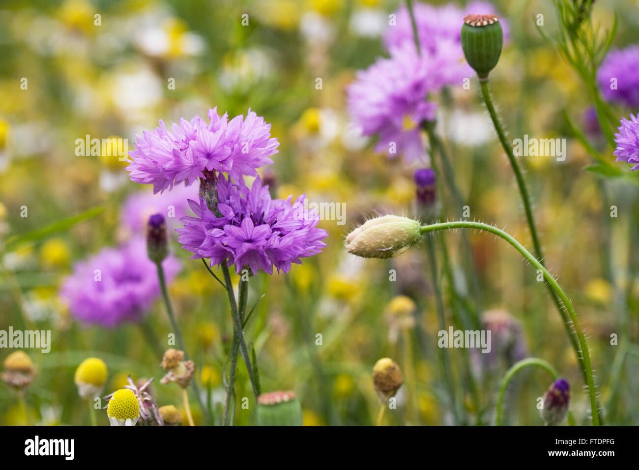 Centaurea cyanus. Cornflowers in a wildflower garden. Stock Photo