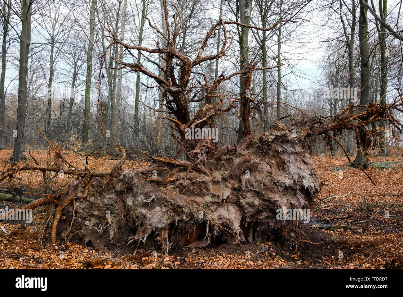 tree root of a fallen pine tree in the woods - Stock Image