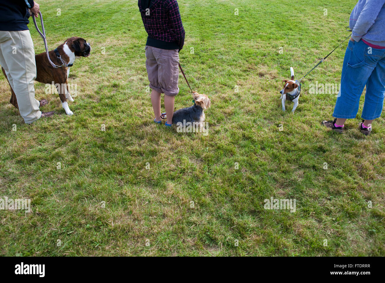 A line up of dogs waiting for the results of a local dog show as they sit in the grass in the British countryside. - Stock Image