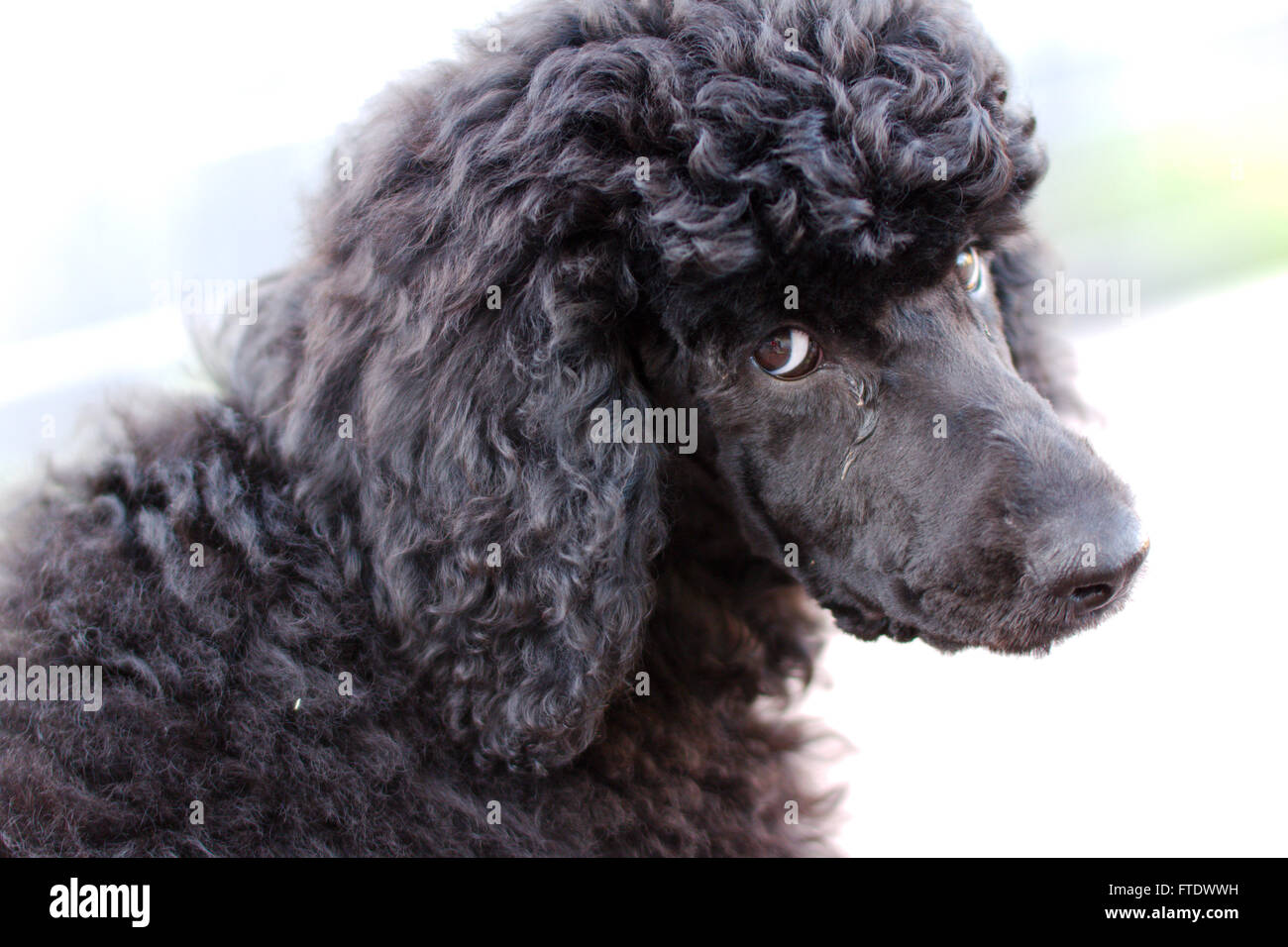 Black Standard Poodle Puppy 12 Weeks Old Looking At You Stock Photo Alamy
