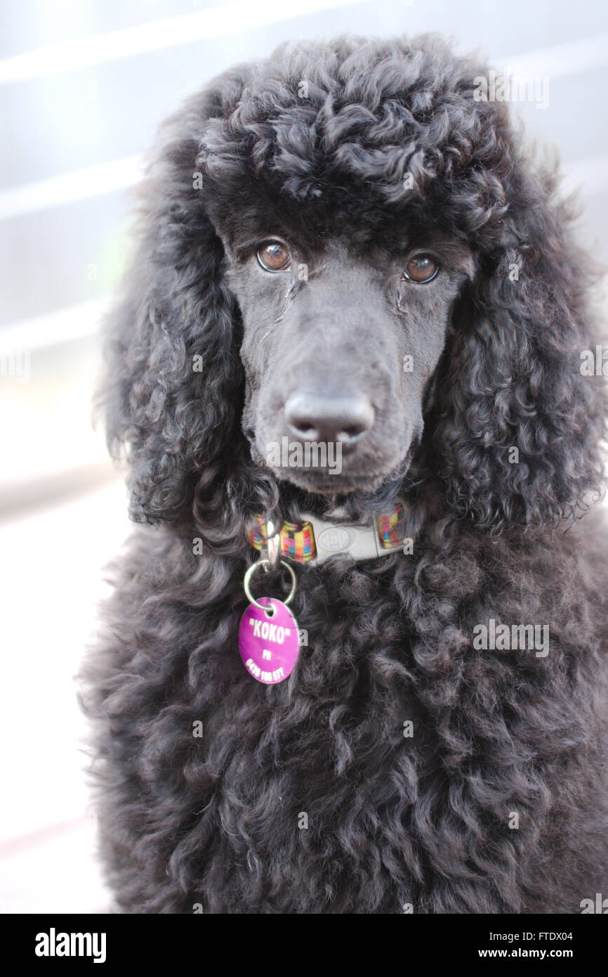 Black Standard Poodle Stock Photos & Black Standard Poodle Stock