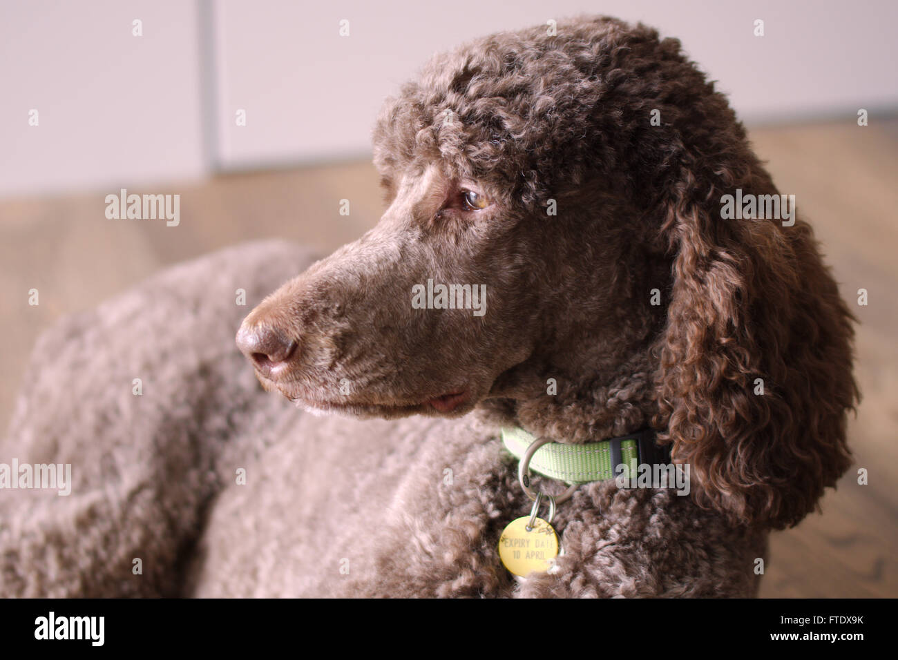 Standard Poodle - Stock Image