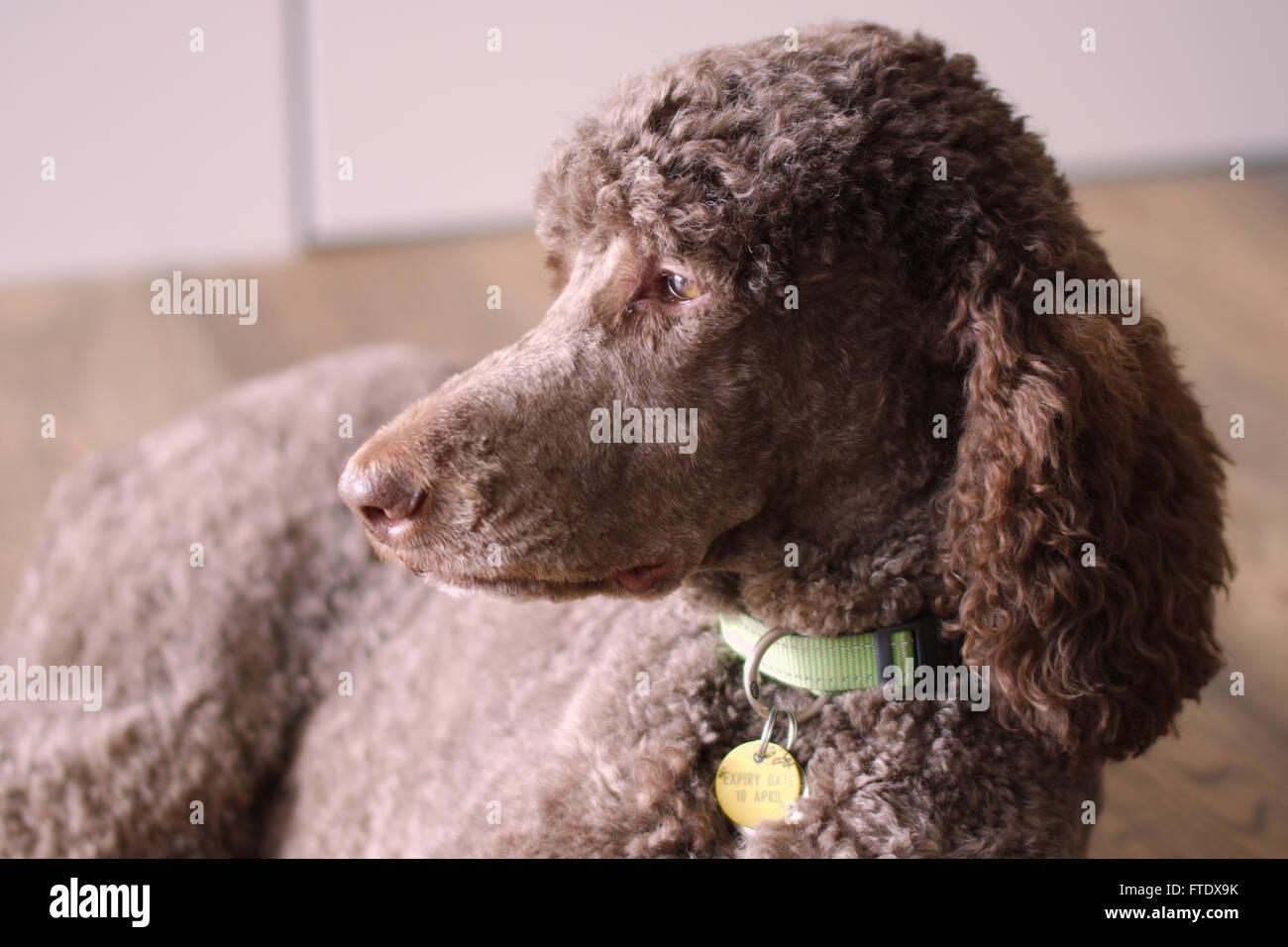 Standard Poodle - Stock Image