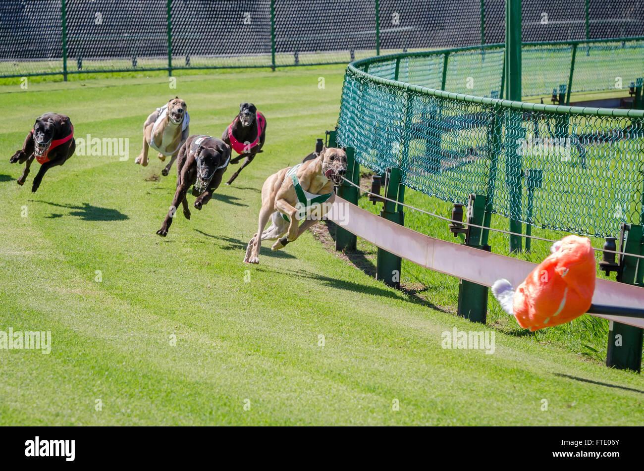 Greyhound Australia Stock Photos & Greyhound Australia Stock Images