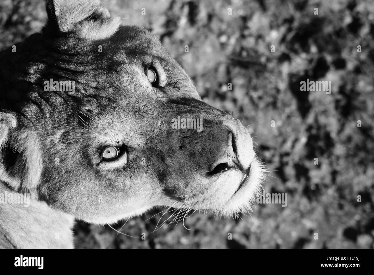 An African Lioness looks up into my camera during a hot and sunny day in July. - Stock Image