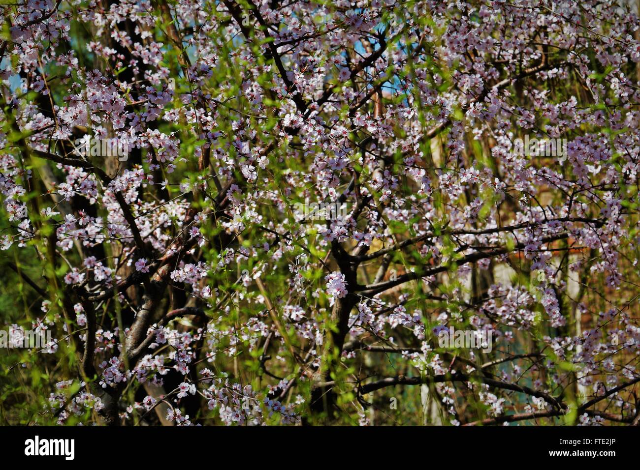 Cherry blossoms and green leaves - Stock Image