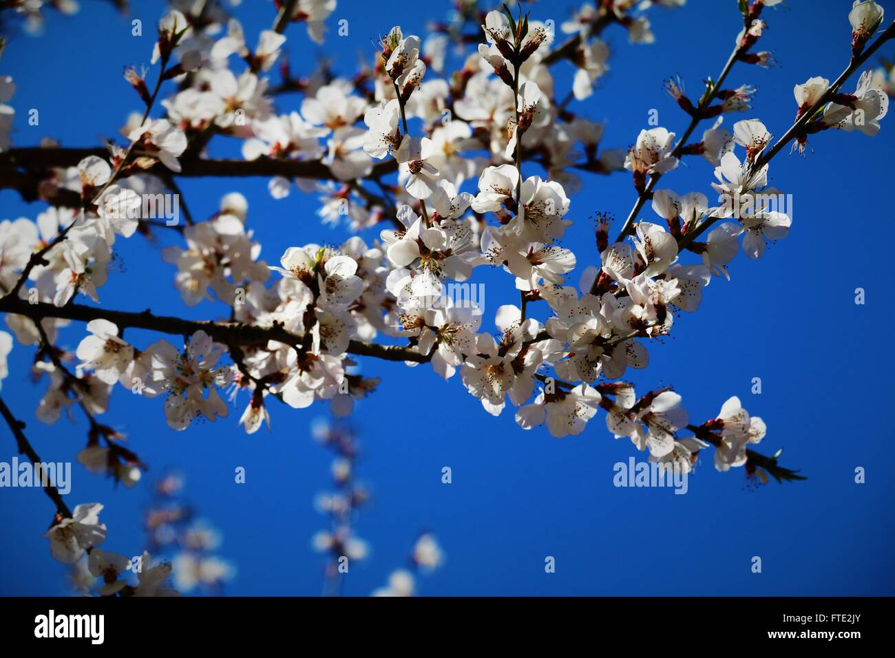 Beautiful white flowers and the blue sky - Stock Image