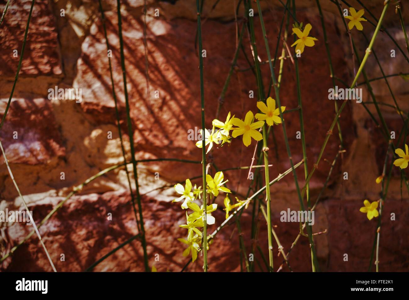 Yellow flowers against orange brick wall. - Stock Image