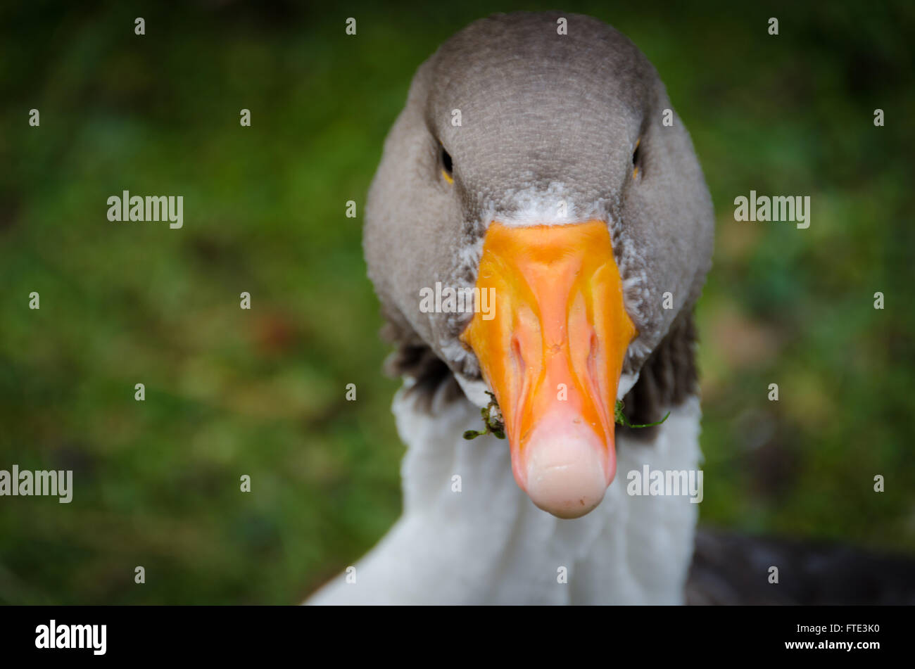 one swedish goose is eat graas and looking at the camera - Stock Image