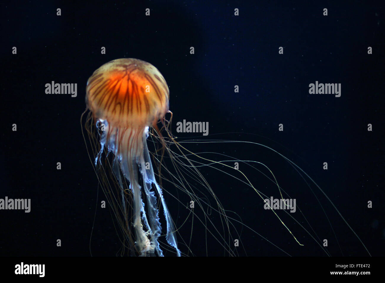 The stinging cells and venom of the compass jellyfish can produce long lasting weals in humans - Stock Image