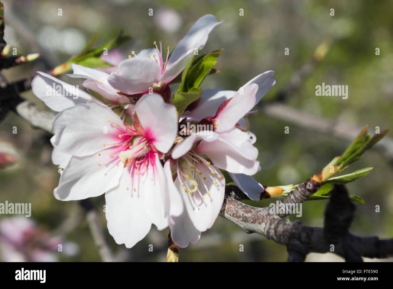 Almond blossom, Prunus dulcis, in flower in Spain, springtime. - Stock Image