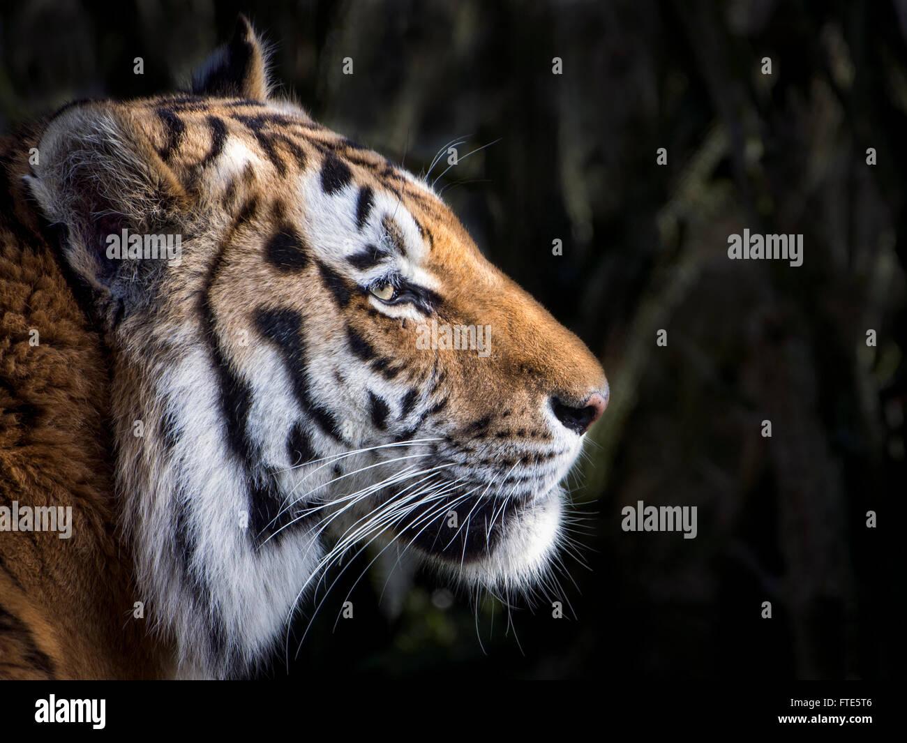 Male Amur (Siberian) tiger (profile) - Stock Image