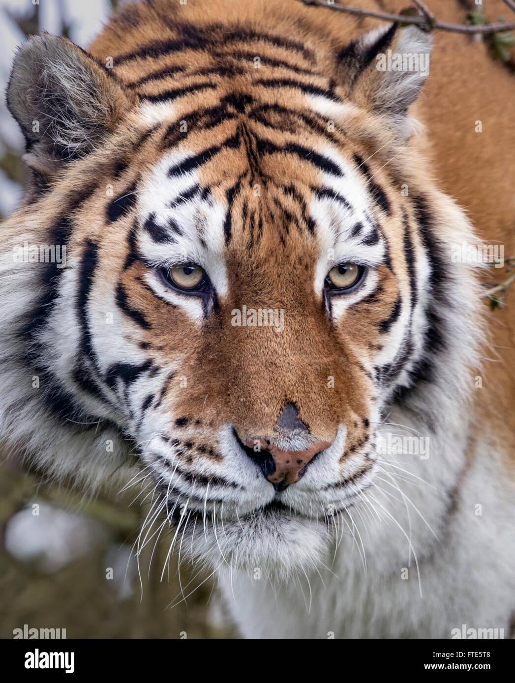 Tiger Face Stock Photos & Tiger Face Stock Images - Alamy