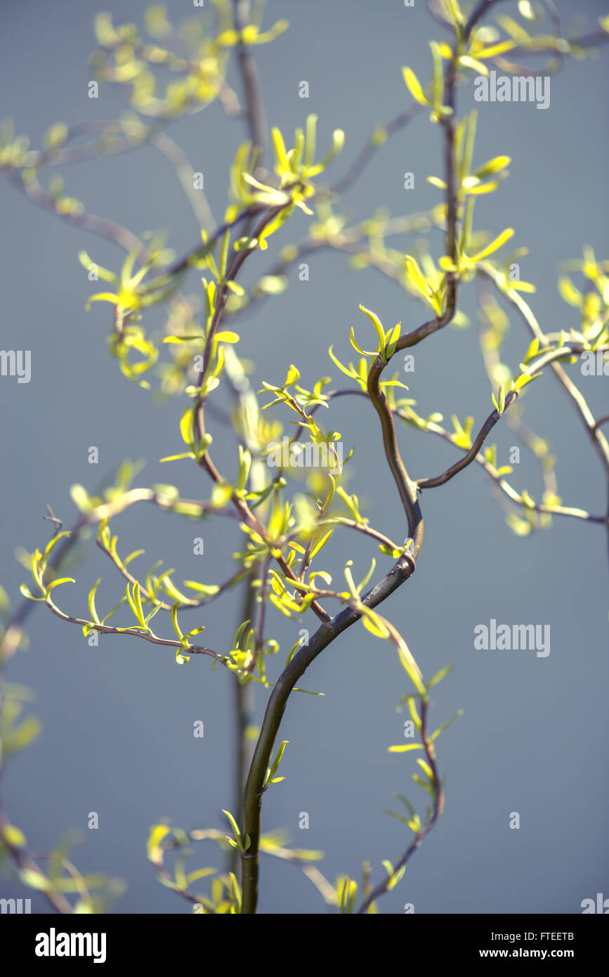new leaves on willow twig - Stock Image