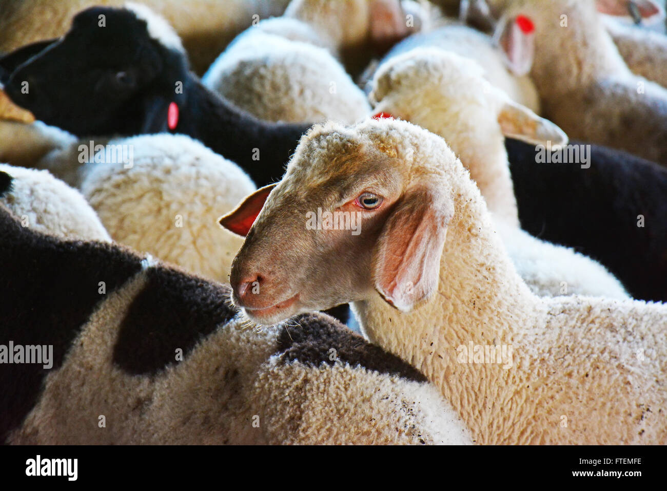 Lambs herd - Stock Image
