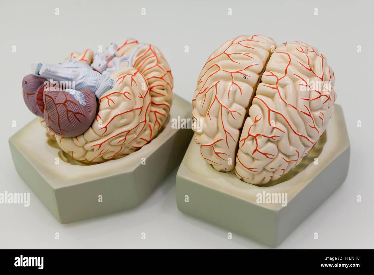 Human Brain Model Anatomical Stock Photos Human Brain Model