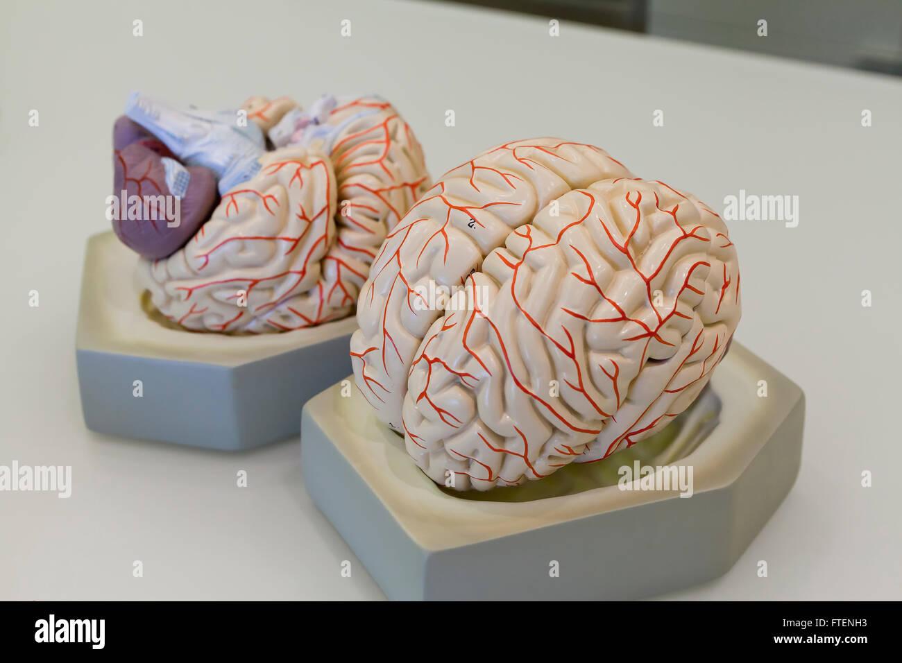 Human brain model - USA - Stock Image