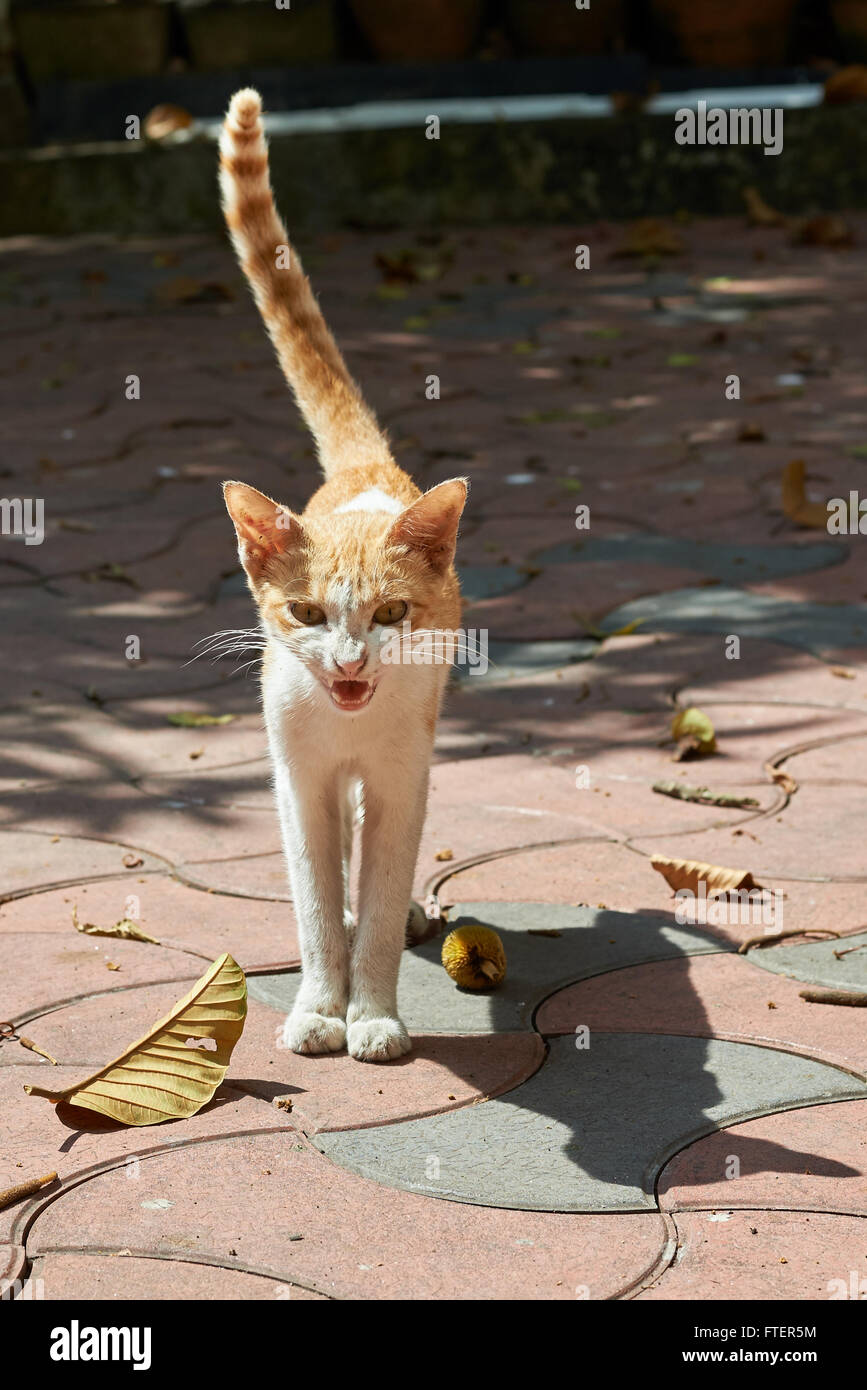 Angry brown and white cat snarling with its tail in the air - Stock Image