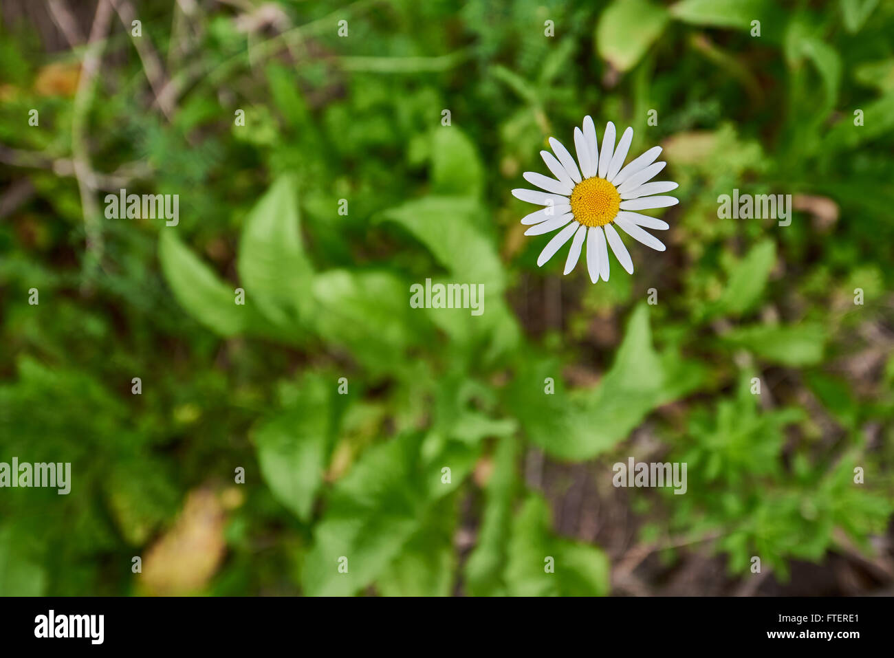 Corn Chamomile Yellow And White Daisy Like Flowers Growing Wild In