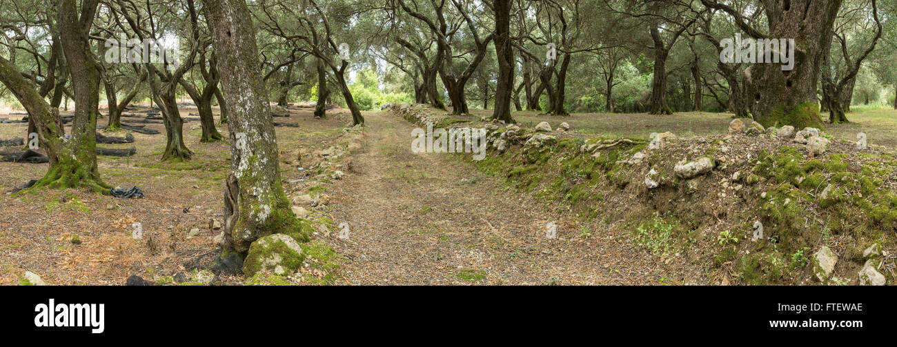 Panoramic photo of an Olive Grove, Corfu Stock Photo